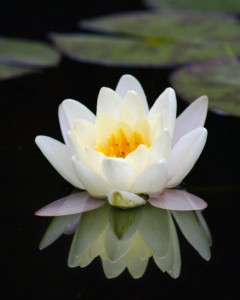 Copie de Lotus